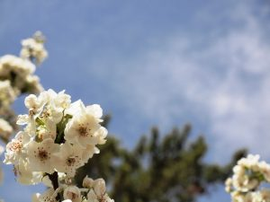 A cluster of white oriental pear blossoms with pink stamens against a blue sky and out of focus pine tree behind the blossoms