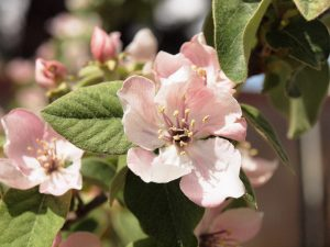Pink quince blossoms and pubescent new quince leaves