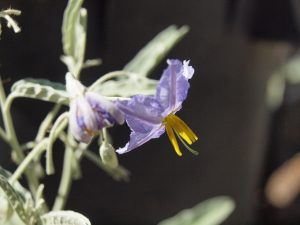 Attractive flower of silverleaf nightshade