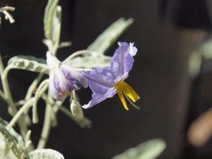 Attractive flower of silverleaf nightshade