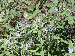 Clump of interconnected silverleaf nightshade plants