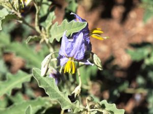 There are even spines on unopened flowers of silverleaf nightshade